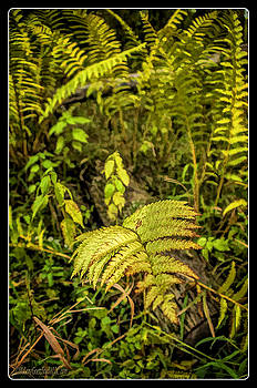 LeeAnn McLaneGoetz McLaneGoetzStudioLLCcom - Ferns on Miller Pond Boardwalk 3