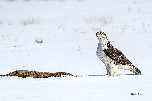 Ferruginous Hawk Standing in Snow by Stephen  Johnson