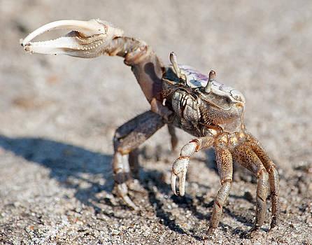 Fiddler Crab by Carla Mason