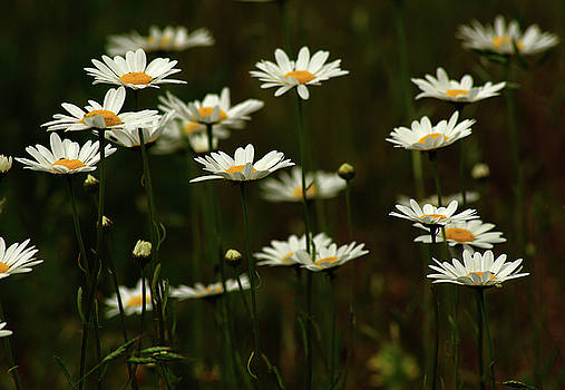 Field of Daisies by Marilyn Peterson