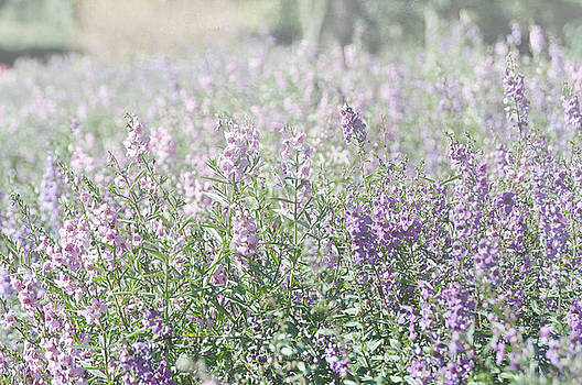 Field of lavender flowers by Beverly Cazzell