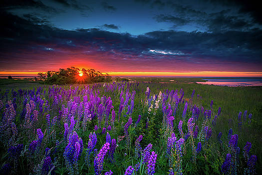 Field Of Lupines At Sunrise by Dapixara Cape Cod Photography