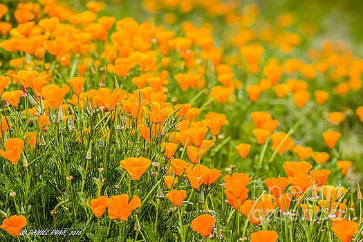Field of poppies by Daniel Ryan