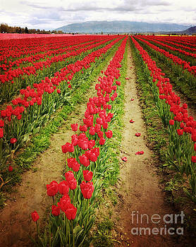 Field of Red Tulips with Drama by Maria Janicki