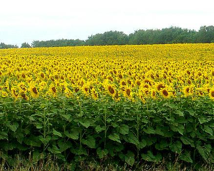 Field of Sunflowers in Kansas by D Winston