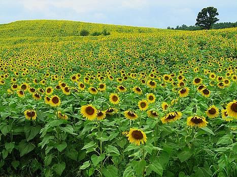 Field of Sunflowers by Lori Frisch