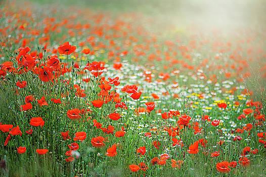 Field Poppy Meadow by Jacky Parker