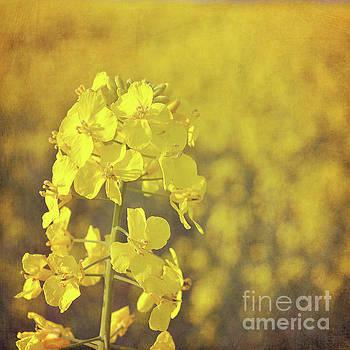 Fields of gold by Lyn Randle