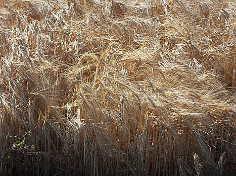 Fields Of Gold by Simon Beamish
