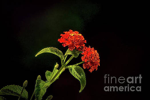 Fiery Red by Arnie Goldstein