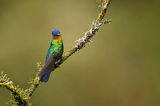 Fiery throated hummingbird by Hali Sowle