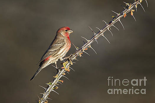Finch on Ocotillo by Bryan Keil