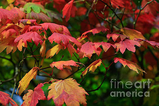 Fire Leaves by Tracy  Hall