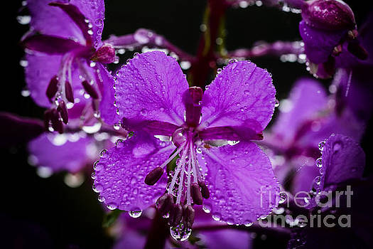 Fireweed with Dew by Thomas R Fletcher