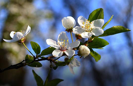 First blossoms by Rumiana Nikolova