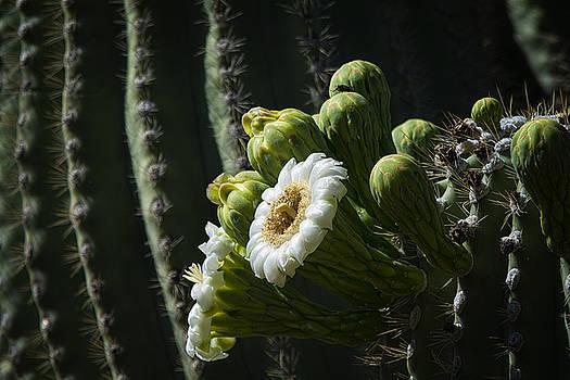 Saija  Lehtonen - First of the Saguaro Blooms