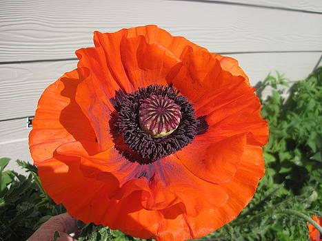 First Poppy of Spring by Barbara Harris
