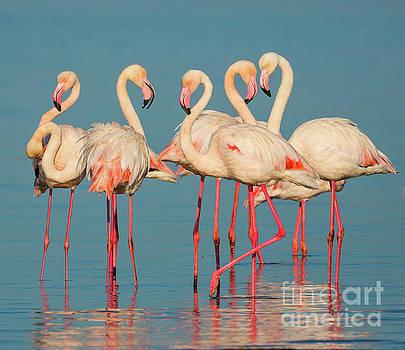 Five Flamingos by Inge Johnsson