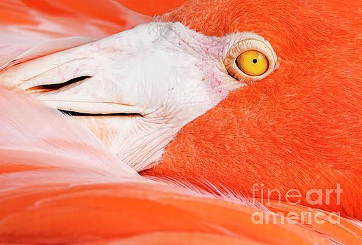 Flamingo by John Greim