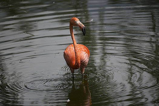 Flamingo by Michel DesRoches