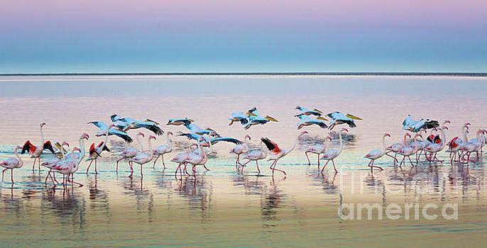 Flamingo Panorama by Inge Johnsson