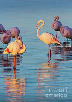 Flamingo Reflections by Inge Johnsson