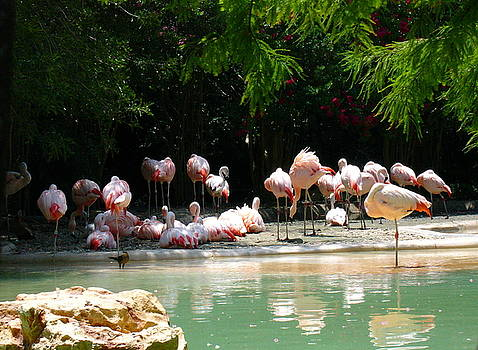 Flamingoes by Cathy P Jones