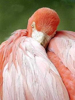 Jeff Brunton - Flamingos 2