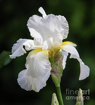 Fleur-De-Lis by Roselynne Broussard