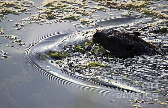 Floating Beaver by Irfan Gillani