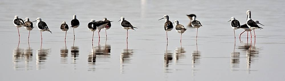 Flock Of Black-winged Stilt... by Werner Lehmann