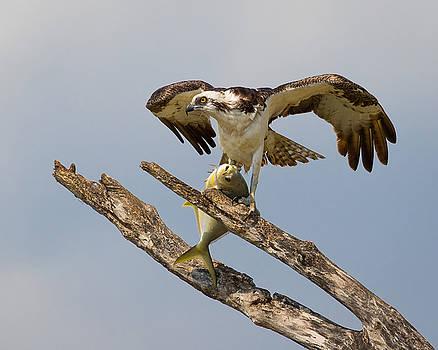 Florida Everglades Osprey with Fish by Bill Swindaman