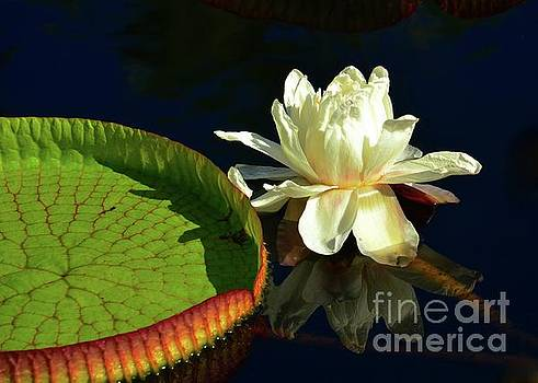Florida Water Lily and Lily Pad by Elaine Manley
