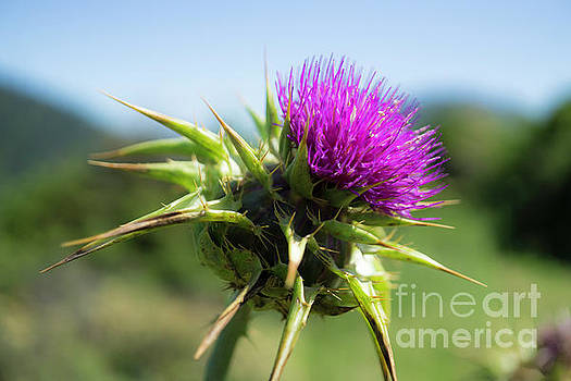 Pink Thistle by Terry Lynn Johnson
