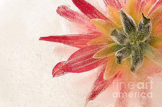 Flower in Ice by Ann Garrett