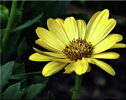 Flower in yellow by Mikki Cucuzzo