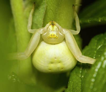 Flower spider 3 by Jouko Mikkola