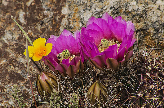Allen Sheffield - Flowering Cactus