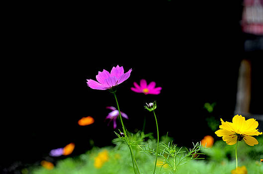 Flowering Cosmos by Charles Bacon Jr