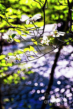 Flowering Dogwood Tree Along a River by George Oze
