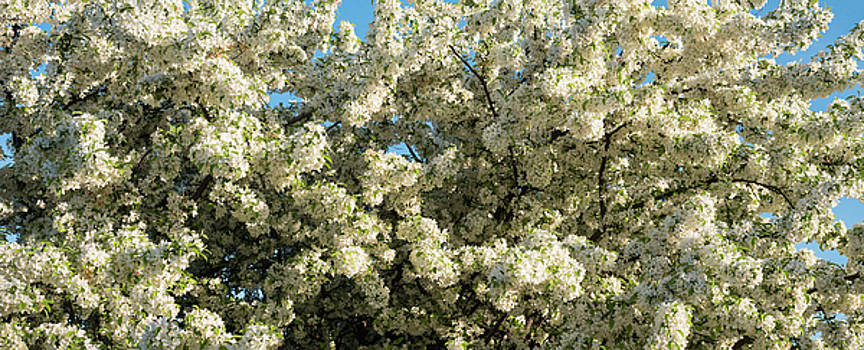 Flowering Pear Tree by Steve Gadomski