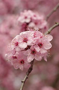 Flowering Plum by Marilyn Peterson