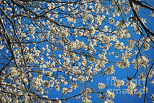 Flowering Tree Branches Against Blue Sky by George Oze