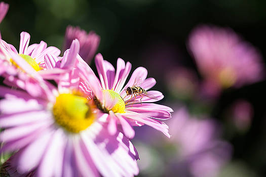 Flowers and a Hover Fly by Maribel Pantoja