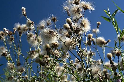 Fluff in the Sky by Amanda Kiplinger
