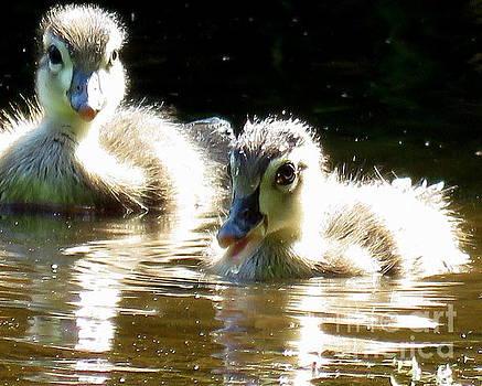 Fluffy Baby Wood Ducks by Selma Glunn