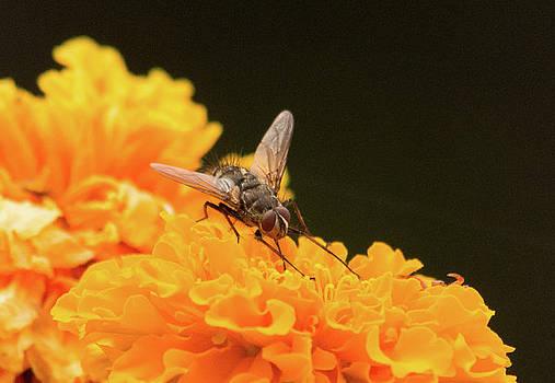 Fly on Flower by Marilyn Wilson