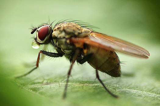 Fly on leaf by Jouko Mikkola