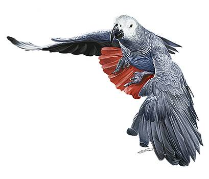 Flying African Grey Parrot by Owen Bell