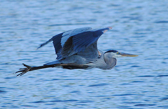 Blue Heron by Carla Mason